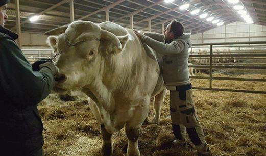 Séance d'ostéopathie sur un bovin